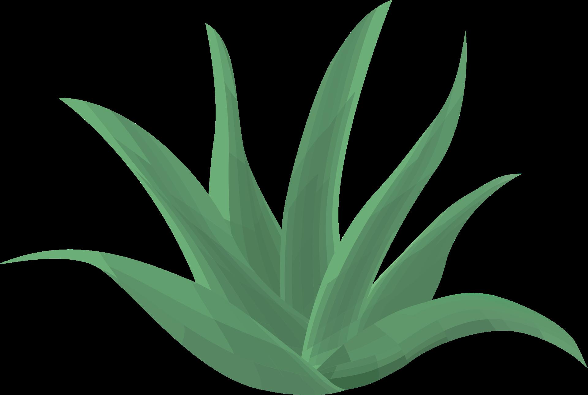 Shop-Kategorie Aloe Vera Produkte. Die Aloe Vera Barbadensis Miller Pflanze, wird schon seit vielen Jahren als Heilpflanze eingesetzt. Unter den über 250 Arten gibt es lediglich vier, die medizinisch wirksam sind. Unter ihnen gilt die Aloe Barbadensis Miller (Aloe Vera) als die Wirksamste. Sie ist ein Liliengewächs, wie Knoblauch und Zwiebel, und auch genauso wertvoll. Bis heute konnten etwa 450 verschiedene nährstoffreiche, natürliche Bestandteile nachgewiesen werden.