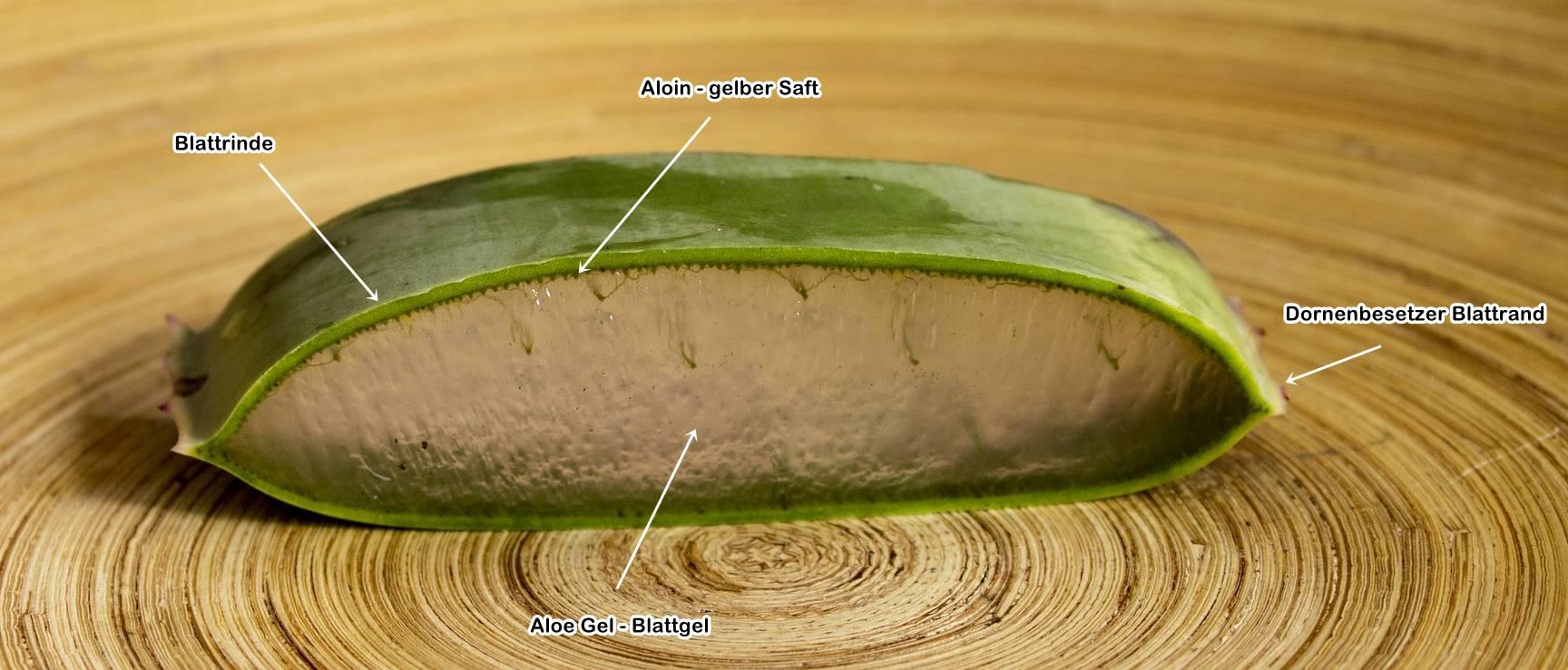 Aufbau eines Aloe Blattes