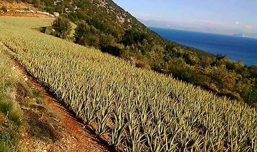 Plantage der Aloe Vera barbadensis Miller Pflanzen in Griechenland