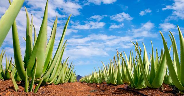 Aloe Vera Blatt linne bzw. miller