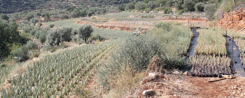 Aloe Plantage