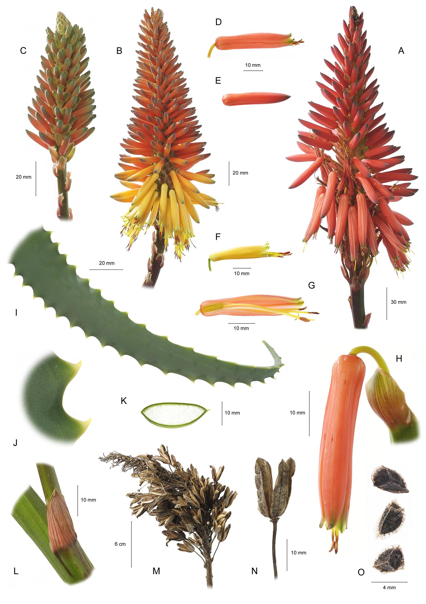 Aloe Arborescens Bestandteile der Pflanze