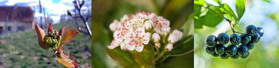 Aroniapflanze von der Blüte zur Frucht und der Reife für die Ernte