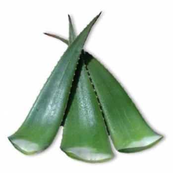 Bio - Aloe Vera fresh leaves linné