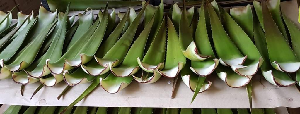 Aloe Vera Blatt barbadensis Miller bzw. linne Lager