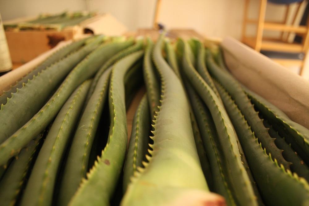Aloe Arborescens Blätter aus kontrolliert biologischem Anbau aus Italien in der Holzsteige