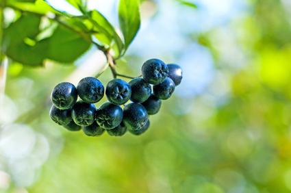 Reife Aronia Beeren aus Österreich für die Herstellung von natürlichem Aronia Saft