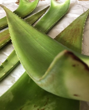 Bio - Aloe Vera Frischblatt Linné
