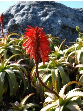 Aloe ist keine Medizin aber ... sie heilt (von Pater Romano Zago)